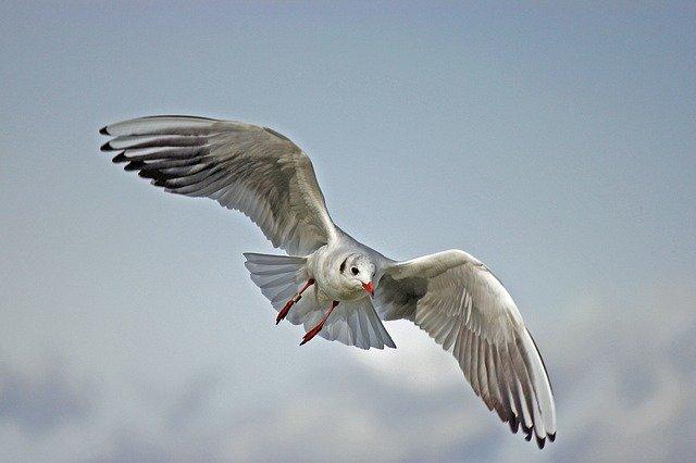 Ciri-ciri Camar Si burung Pemancing Ikan